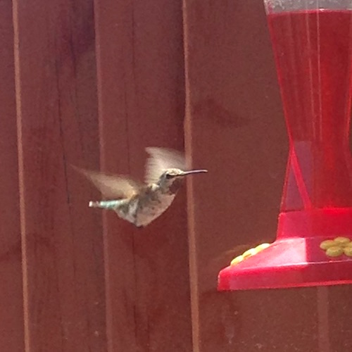 hummingbird-of-anne-convery